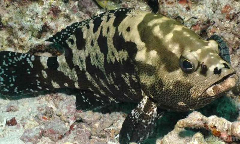 14 Jenis Ikan Kerapu Termahal Dan Nominal Harganya